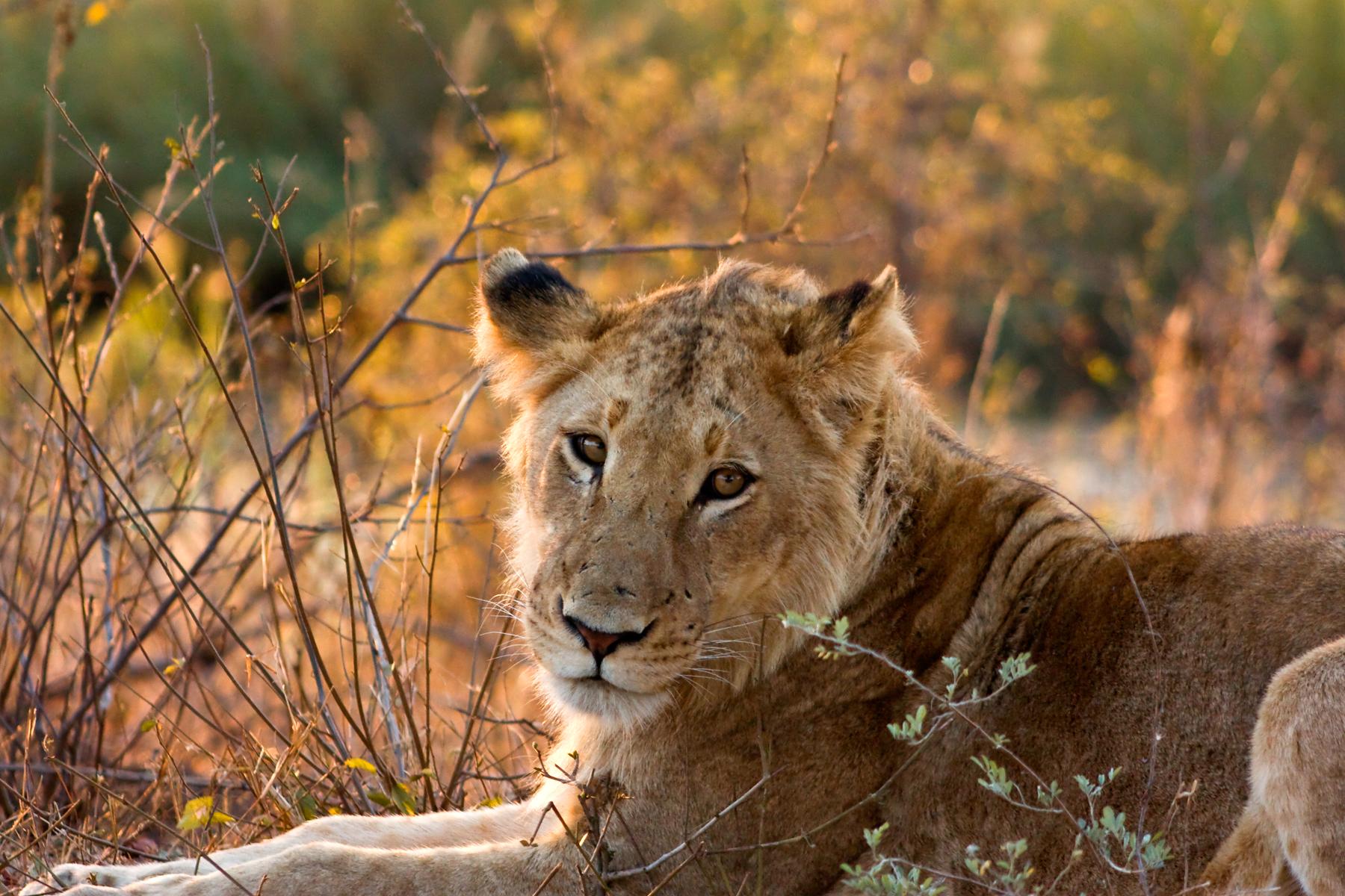 stockvault-kruger-park-lioness133546